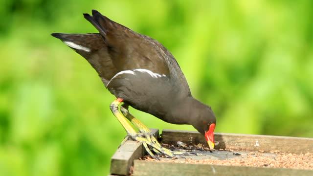 vídeos y material grabado en eventos de stock de polla de agua - baño para pájaros