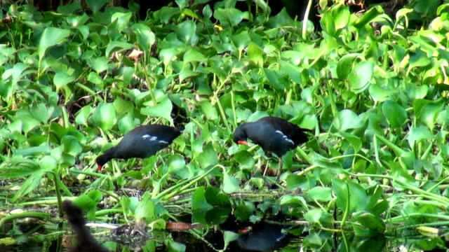 moorhens, rallidae gallinula, walking on water hyacinth - hyacinth stock videos & royalty-free footage
