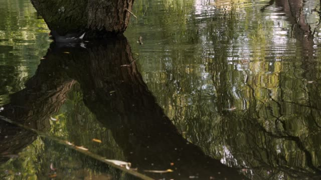 moorhens swimming and eating in a pond - vondelpark stock videos and b-roll footage