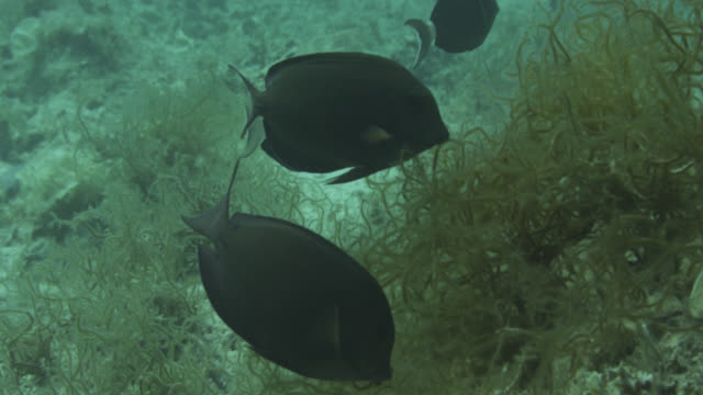 vidéos et rushes de moorish idol (zanclus cornutus) and surgeonfish (acanthurus species) swim over seaweed. japan. - varech