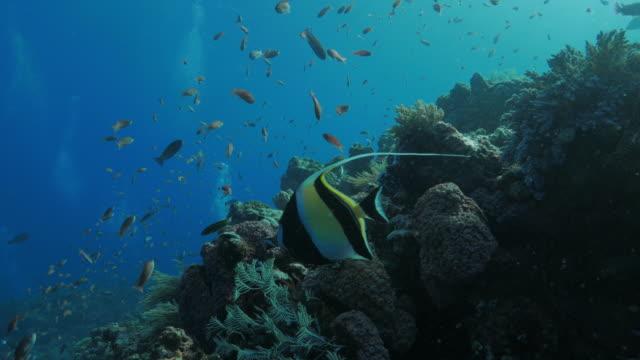 moorish idol, anthias fish, in coral reef, komodo (4k) - anthias fish stock videos & royalty-free footage