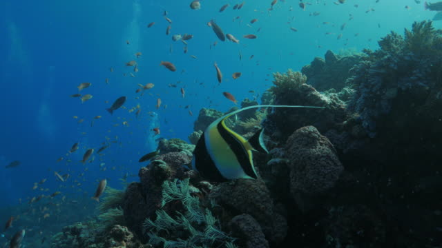 moorish idol, anthias fish, in coral reef, komodo (4k) - moorish idol stock videos and b-roll footage