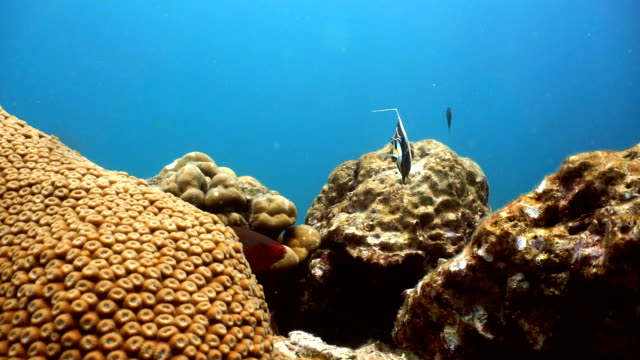 moorish idol fish (zanclus cornutus) on fragile moon coral (favia sp) reef ecosystem ocean environment.  koh haa dive site, andaman sea, krabi, thailand. - hard coral stock videos & royalty-free footage