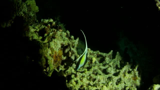 moorish idol fish swimming around reef at night - moorish idol stock videos and b-roll footage