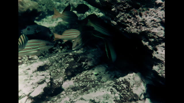 moorish idol saltwater fish swimming by coral reef joining group of orange white fish ms school of pacific snapper swimming close together vs crown... - moorish idol stock videos and b-roll footage