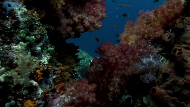 moorish idol (zanclus cornutus) swims amongst soft corals on reef, west papua, indonesia - moorish idol stock videos and b-roll footage