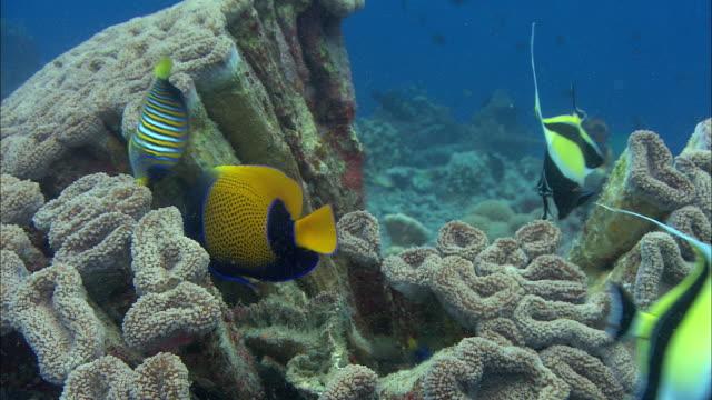 moorish idols (zanclus cornutus) and blue girdled angelfish (pomacanthus navarchus) on coral reef, manado, indonesia - moorish idol stock videos and b-roll footage