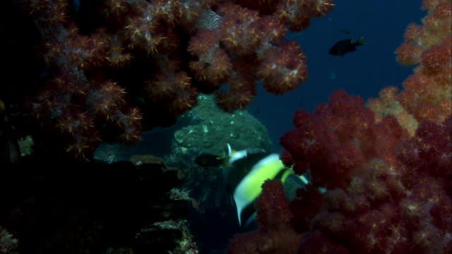 moorish idols (zanclus cornutus) swim amongst soft corals on reef, west papua, indonesia - moorish idol stock videos and b-roll footage