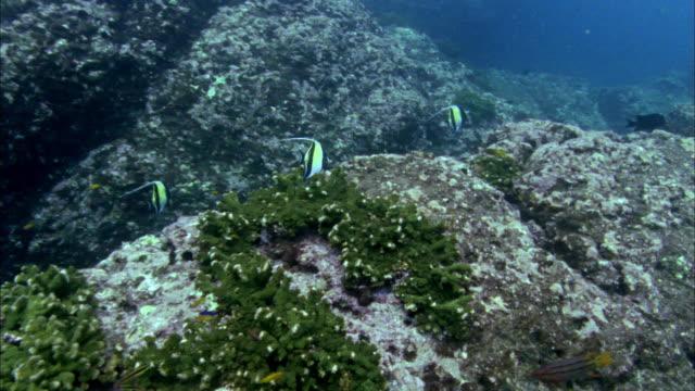 ms moorish idols swimming over reef / guanacaste, costa rica - moorish idol stock videos and b-roll footage