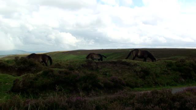 moorland animals - exmoor national park stock videos & royalty-free footage