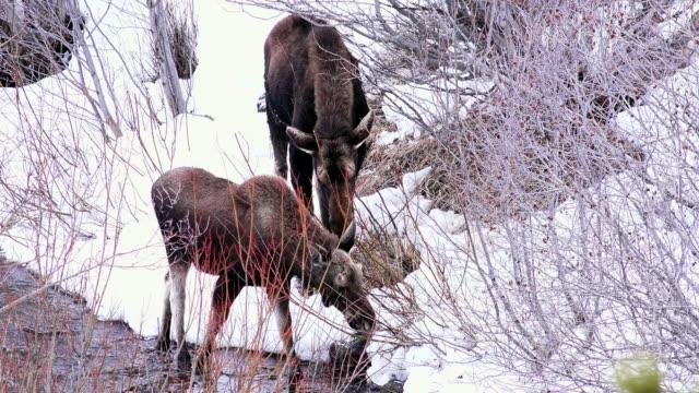 vídeos y material grabado en eventos de stock de moose and calf browsing, yellowstone national park, wyoming - alce