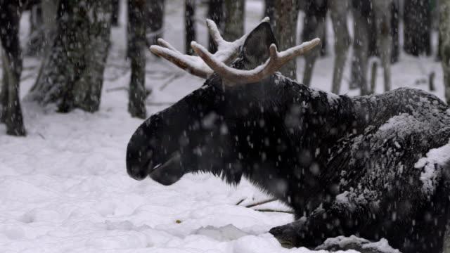 moose (elk) and winter - elk stock videos & royalty-free footage