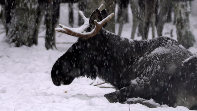 moose (elk) and winter - taiga stock videos and b-roll footage