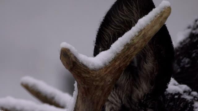 Moose (Elk) and winter