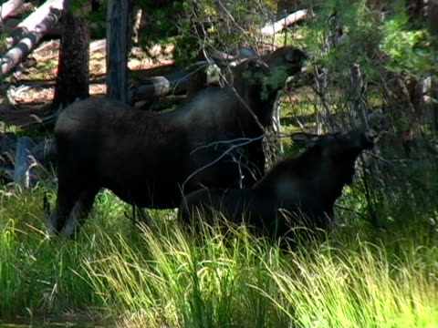 moose and young - herd stock videos and b-roll footage