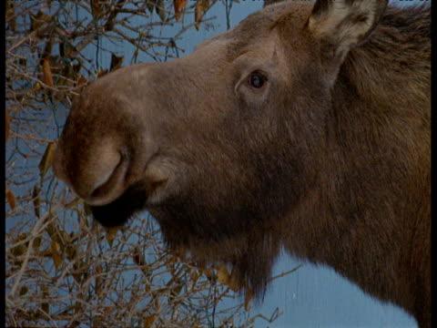 moose browses on shrub in garden, anchorage, alaska - anchorage alaska stock videos & royalty-free footage