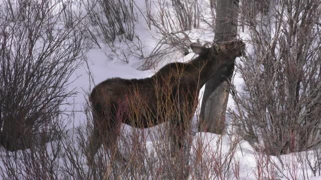 Moose browsing, Yellowstone National Park, Wyoming
