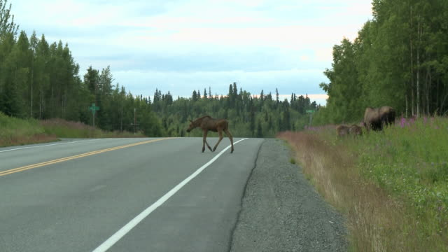"""""""moose calf begins to cross road and turns back with cars coming both directions, another calf and moose grazing at roadside, alaska."""" - ヘラジカ点の映像素材/bロール"""