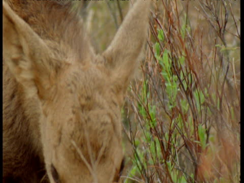 moose calf browses, alaska - babyhood stock videos & royalty-free footage
