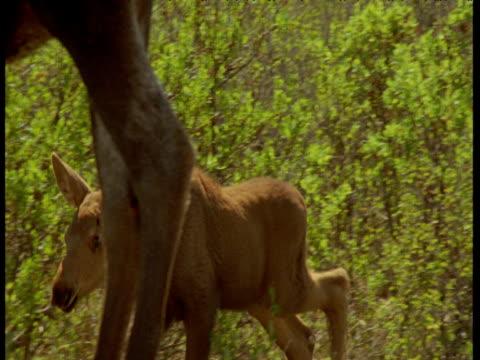 moose calf joins its mother, alaska - babyhood stock videos & royalty-free footage