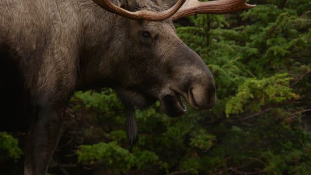 moose chewing, alaska. - chugach national forest stock videos & royalty-free footage