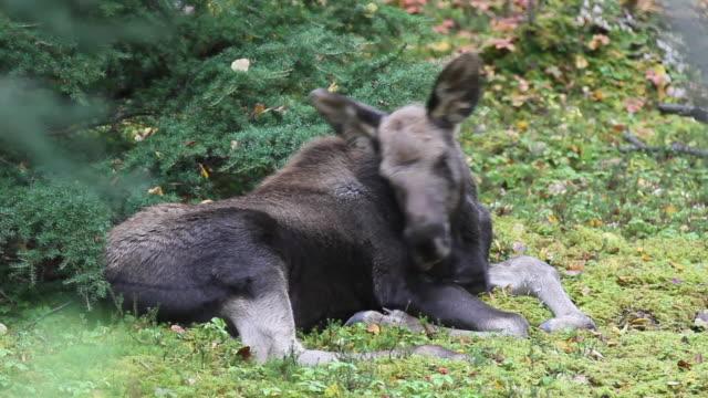 moose  chugach national forest, alaska. - chugach national forest stock videos & royalty-free footage