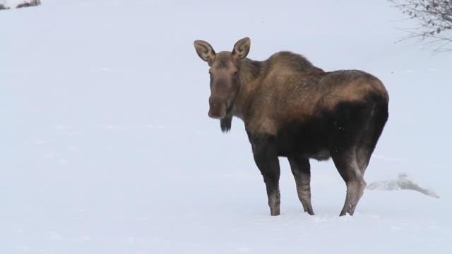 moose, chugach national forest, seward, alaska. - chugach national forest stock videos & royalty-free footage