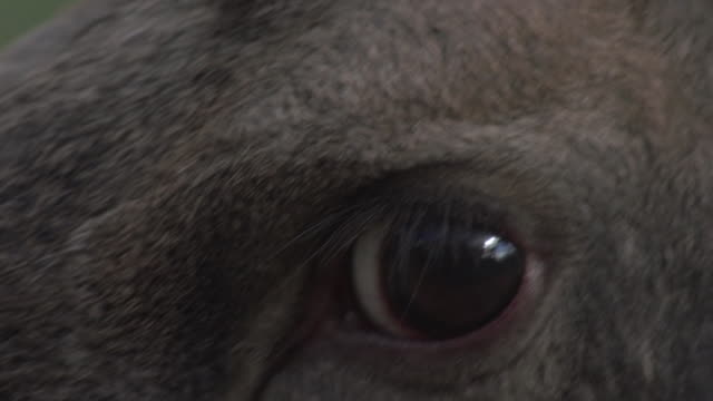 moose close-up - antler stock videos & royalty-free footage