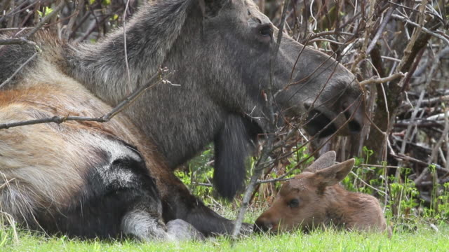 a moose cow and calf, chugach national forest, alaska. - chugach national forest stock videos & royalty-free footage