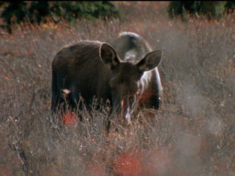 moose cows graze on the alaskan tundra a bull rubs his antlers in a bush and other bulls survey their surroundings - 枝角点の映像素材/bロール