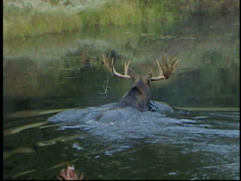 MS, Moose (Alces alces) crossing creek, Algonquin Provincial Park, Ontario, Canada