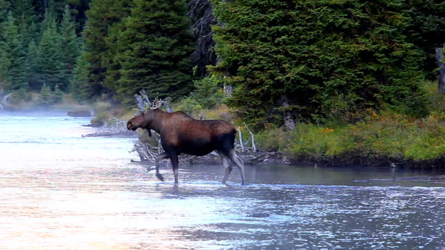 stockvideo's en b-roll-footage met moose crossing mountain river - canada
