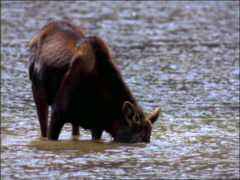 vídeos de stock e filmes b-roll de moose drinking water/eating looks up at camera / rocky mountain national park in banff, canada - 1997