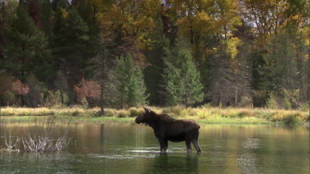 moose (alces alces) eats algae in lake, yellowstone, usa - yellowstone national park stock videos & royalty-free footage