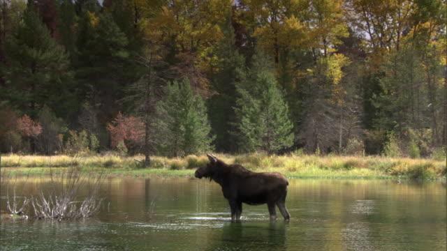 vídeos y material grabado en eventos de stock de moose (alces alces) eats algae in lake, yellowstone, usa - parque nacional de yellowstone
