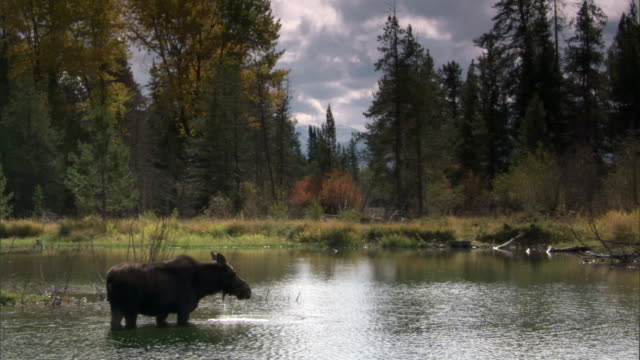 Moose (Alces alces) eats algae in lake, Yellowstone, USA