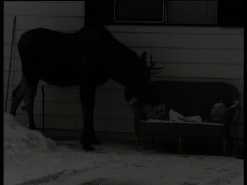 moose eats carved pumpkin in garden, anchorage, alaska - ヘラジカ点の映像素材/bロール