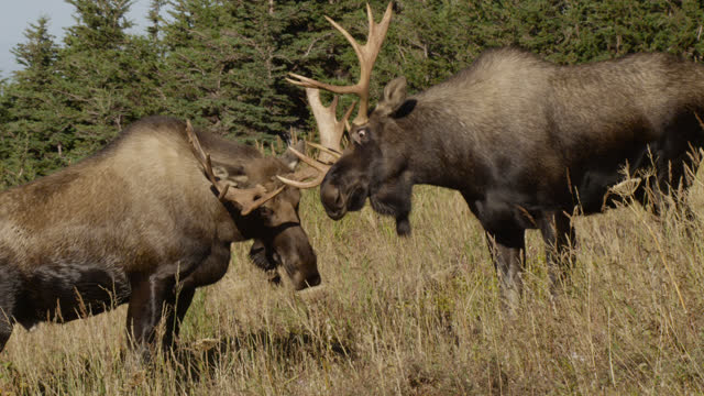 moose face each other, alaska. - chugach national forest stock videos & royalty-free footage