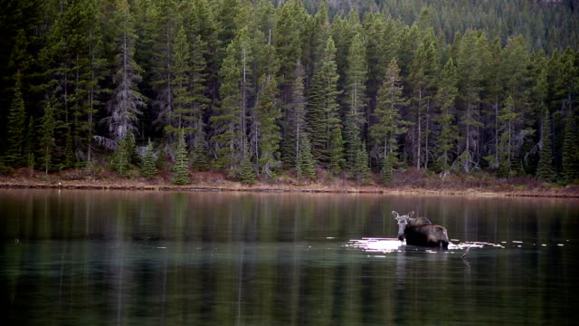 Moose feeding in calm mountain lake.