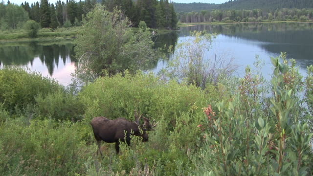 ms, ha, moose (alces alces) feeding in lush foliage by riverbank, grand teton national park, wyoming, usa - grand teton national park stock videos & royalty-free footage