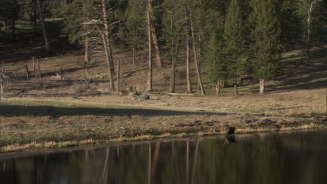 vidéos et rushes de moose (alces alces) feeds on waterweed in lake by forest, yellowstone, usa - inclinaison vers le bas