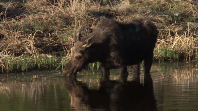 Moose (Alces alces) feeds on waterweed in lake, Yellowstone, USA