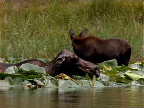 moose forage in a lake. - 水生植物点の映像素材/bロール