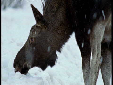 moose forages in snow, anchorage, alaska - anchorage alaska stock videos & royalty-free footage