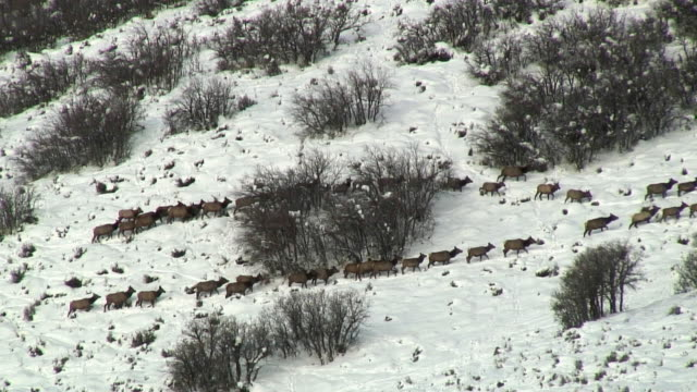 ws ha moose herd split by brush / park city, utah, usa - ヘラジカ点の映像素材/bロール