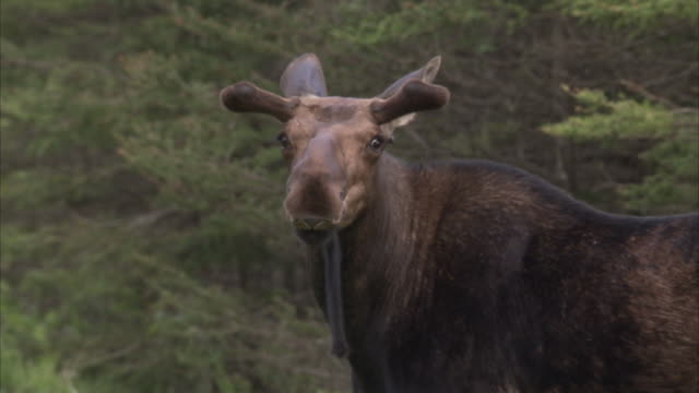 Moose in forest, Minnesota, United States of America