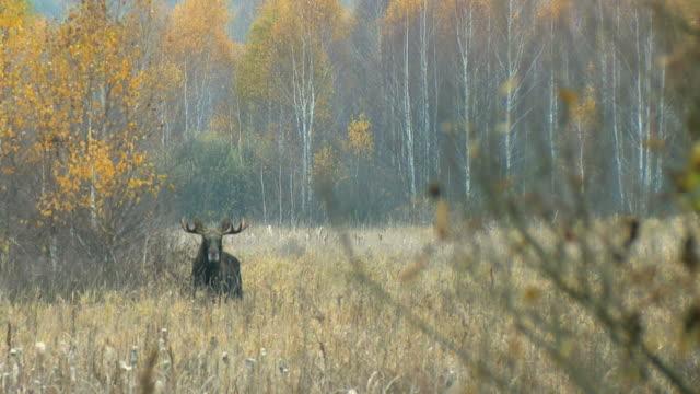 Moose in november