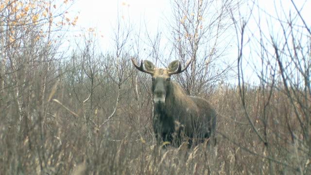 moose in november - november stock videos & royalty-free footage