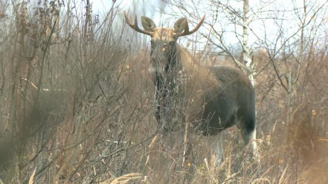 stockvideo's en b-roll-footage met moose in november - lichaamsdeel van dieren