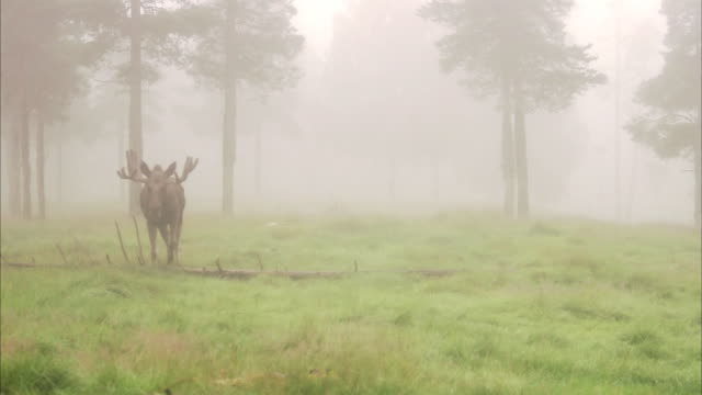 A moose in the fog Sweden.